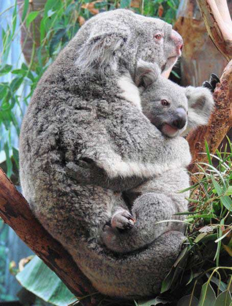 Koala Baby In Pouch | www.pixshark.com - Images Galleries ...