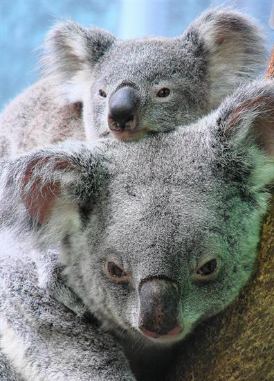 Koala Joeys' caring and loving mothers.