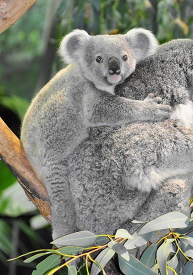 Koala Joey Start Chewing at 8 months.