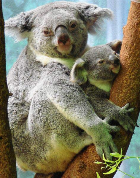 Koala Joeys Weigh Lightest.