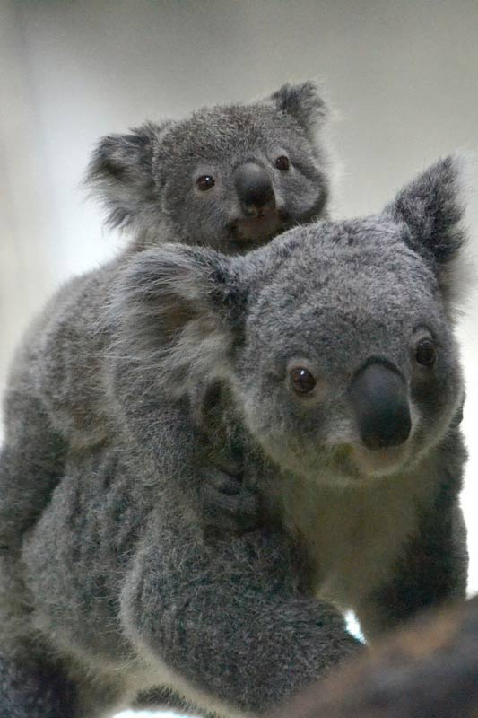 Koala Joey mounting at her mother's back.