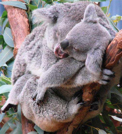 Koala Joey's Mother left after 9 months.
