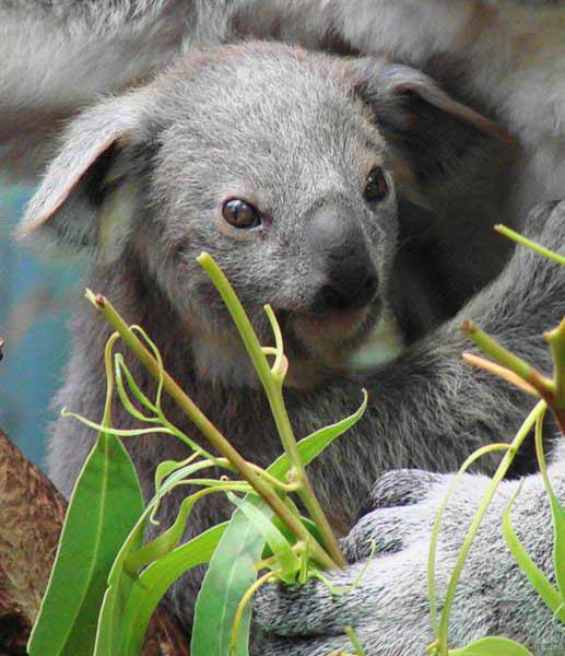 A Koala Joey depends upon its mother's milk.
