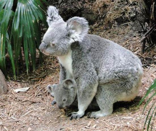 A Koala Joey inside her mother's pouch.