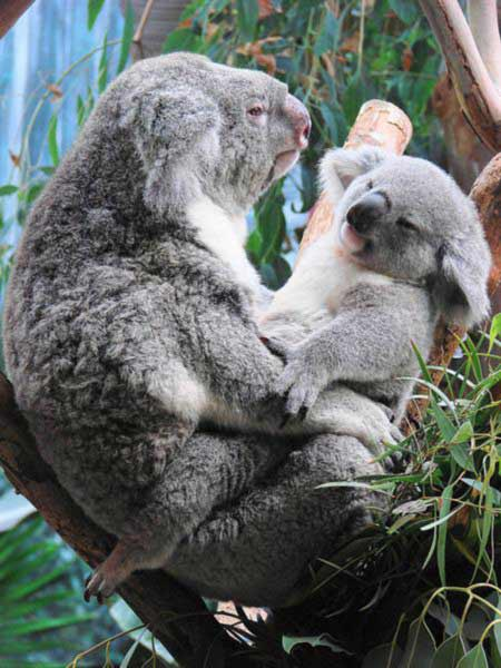 Koala Joey Outside its mother Pouch