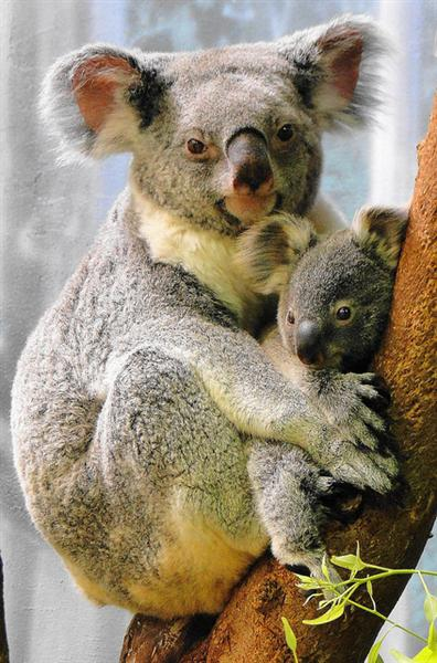 A Koala Joey Outside its mother's Pouch.