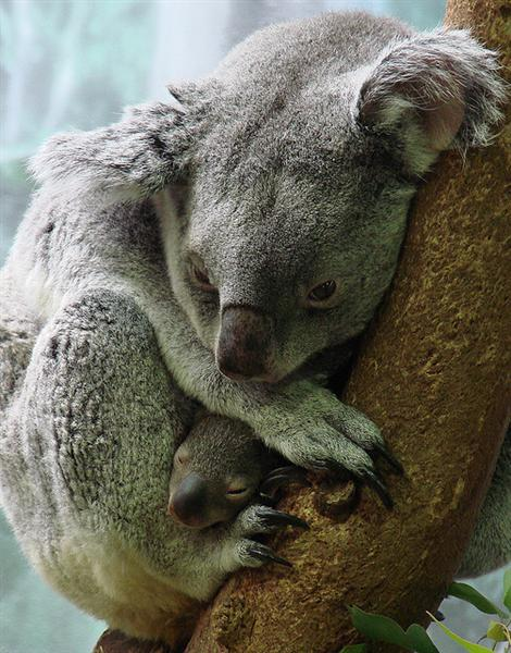 Koala Joey Enjoys nutrition in its mother's pouch.