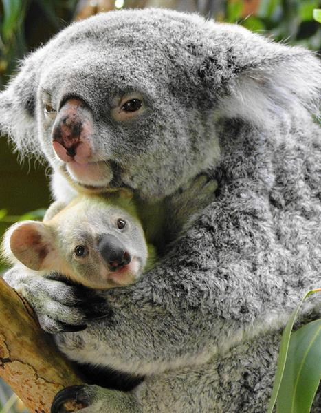 The size of the baby koala joey at the time of its birth - Pics of baby koalas ...