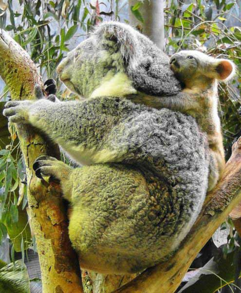 Koala Joeys are under-developed at the time of birth.
