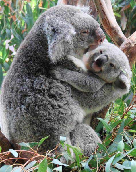 Koala NewbornNewborn Koala