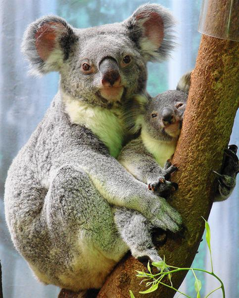 Koala Joeys are under-developed at birth.