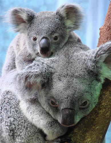 Koala Joeys' variation of Weights.