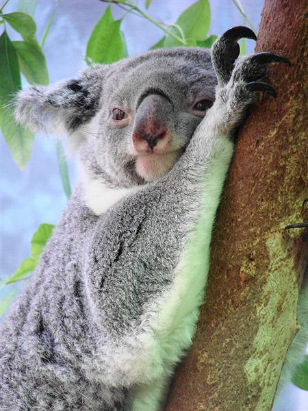 Koala pap is not faeces but nutrition for Koala Joeys.