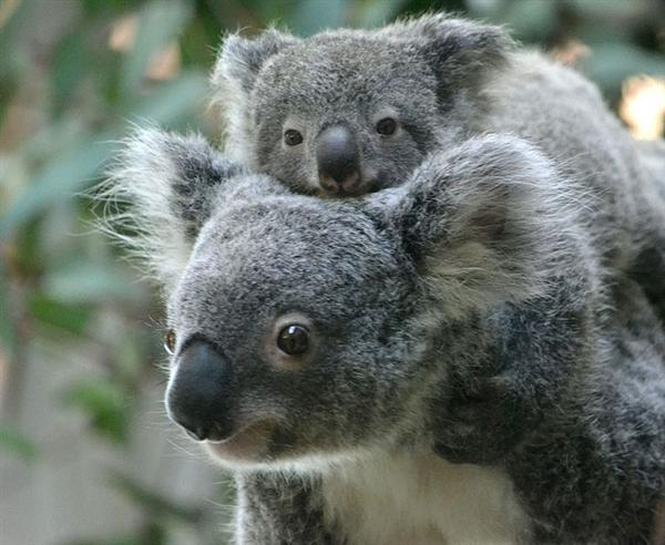 Koalas' mating season.