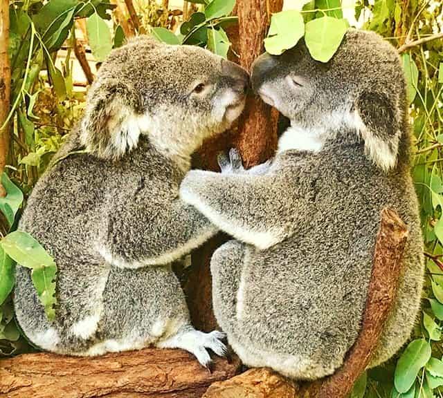 Koalas - Mating Season and Mating Months