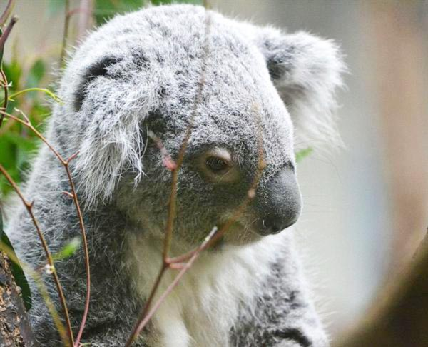 Koalas' mating Success.