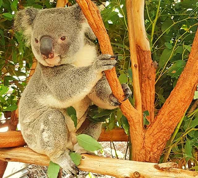 Koalas and their Aboriginal and Native Names