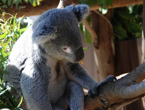 Koalas have Australian aboriginal names.