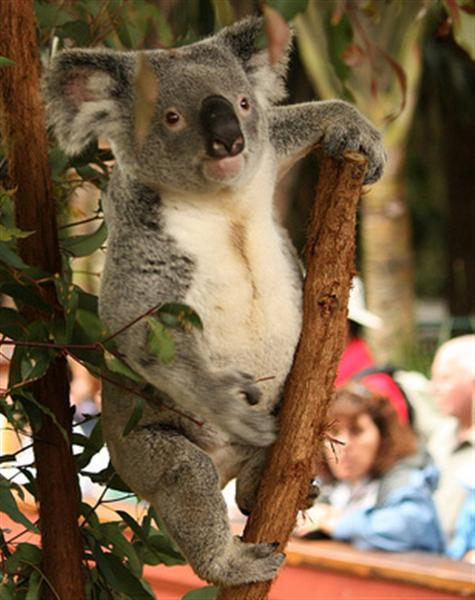 Koalas have many different names.