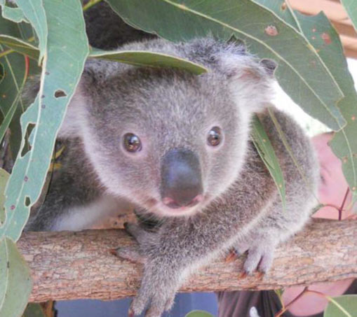 Smaller Koalas aerial predators' threat.