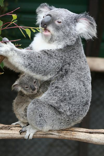Female Koala Joeys are recognized with the help of the pouches attached to their bellies.