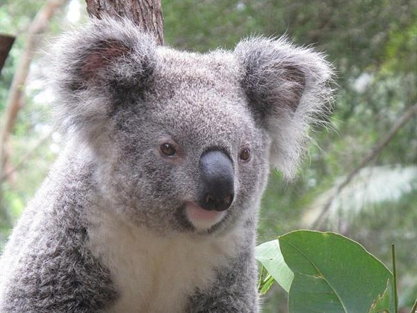 Koalas are recognized through their fluffy fur.
