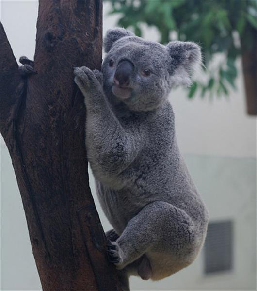 Koalas are recognized through their slower movements.
