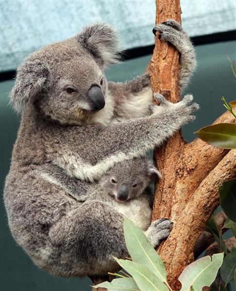 Koalas are recognized through their Rounded and Fluffy ears