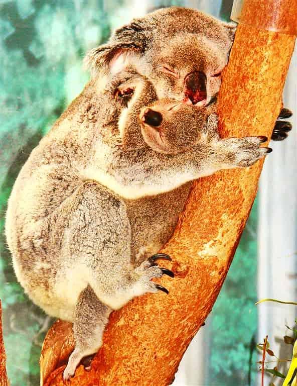 Koala Sleeps 20 Hours Per Day