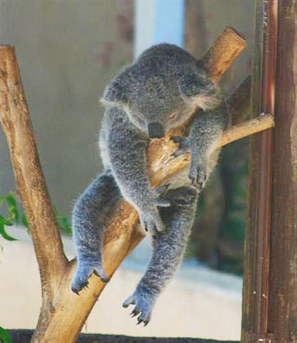 Koalas hourly sleep helps slow metabolism rate.