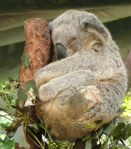 Koalas sleep 20 hours per day.