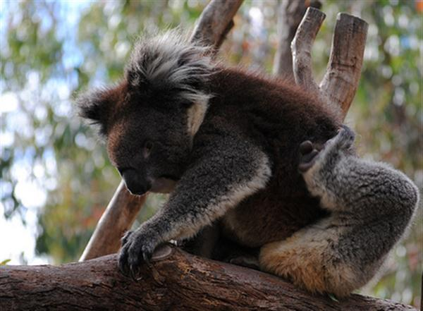 Koalas are largest tree climbing mammals across the continent of Australia.