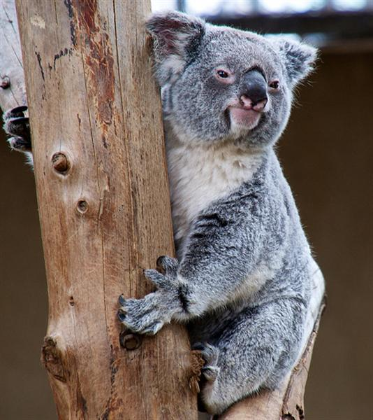 Koalas are larger and bigger than Opossums and Tree Kangaroos.
