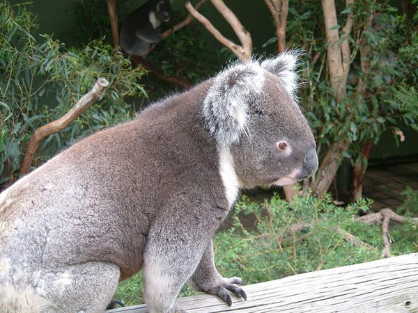 Koalas voice help them to be protected against predators.