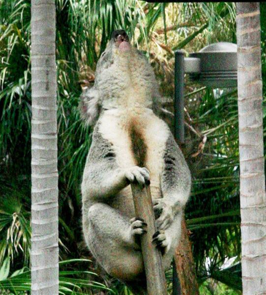 Male Koalas loudest among all Australian Mammals.