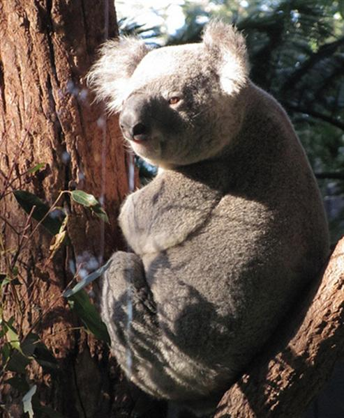 Male Koalas loudest voice.