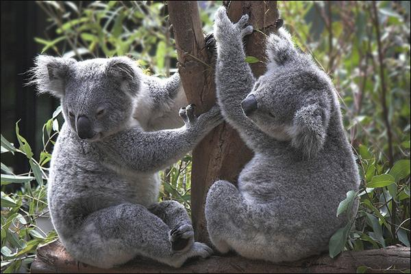 Male and female Koalas vary in terms of their weights and sizes.