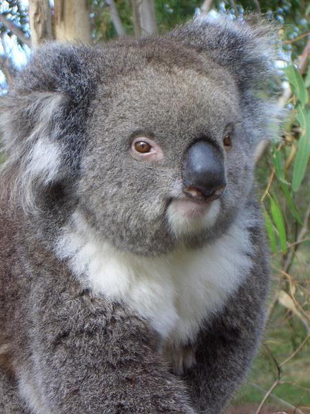 Koalas heart beat increases when suffered from heat strokes and heat exhuastion.