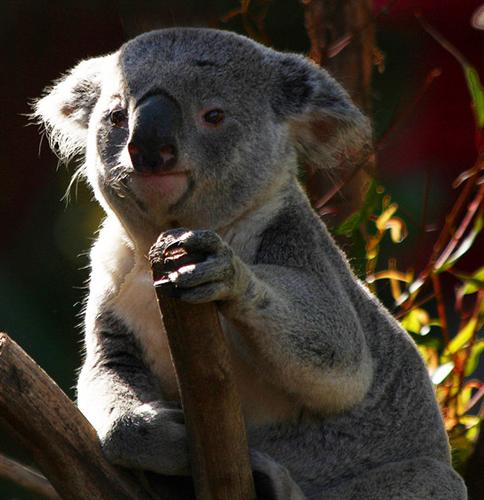 Koalas suffer heat exhaustion due to an extreme sunlight exposure.