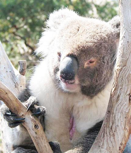 Koalas vomit because of heat exhaustion and heat stroke.