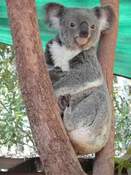 Koala's smaller brain helps to maintain energy levels.