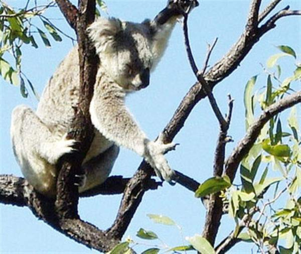 Koalas brain has limited intellectual capabilities.