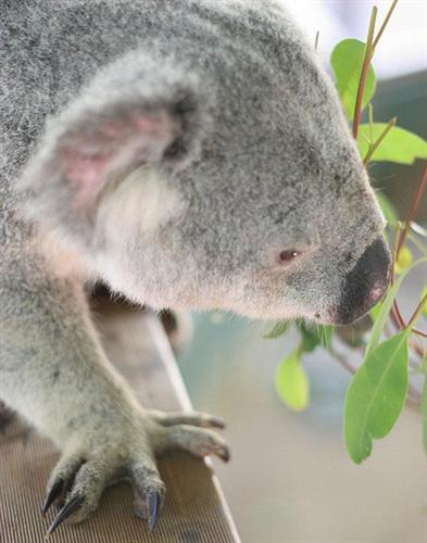 Koalas' chewing increases nutrition absorption.