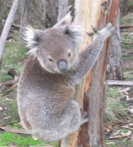 Deforestation is responsible for Koalas' Dehydration.