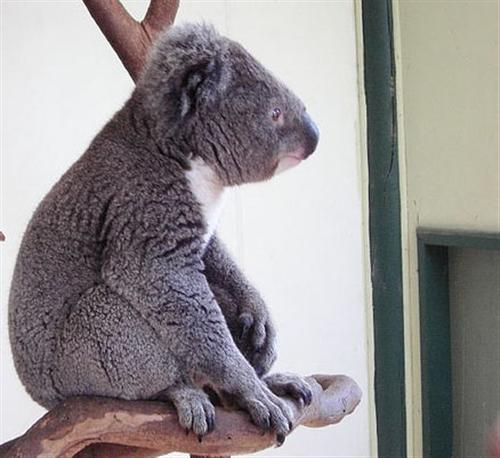 Koalas face dry conditions which are responsible for dehydration.