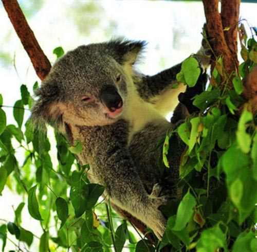 Koalas diet is nutritious only for the Koalas.