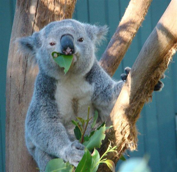 Eucalyptus leaves are the favorite food of Koalas.