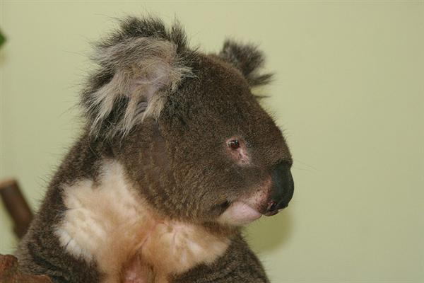 Koalas differ in terms of their fur coloring.