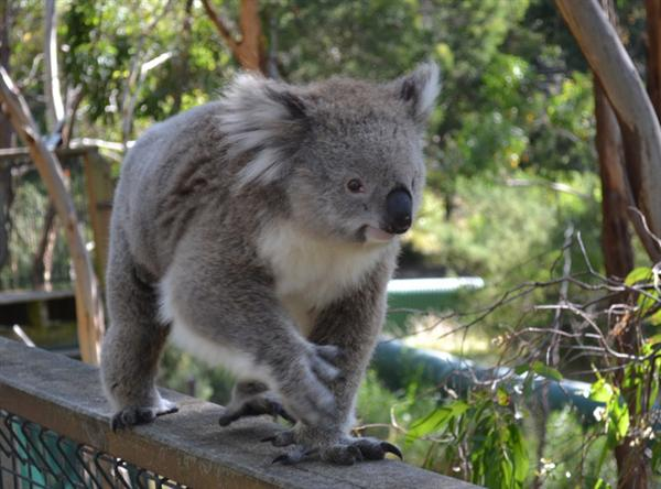 Koalas differ in terms of their furs as well.