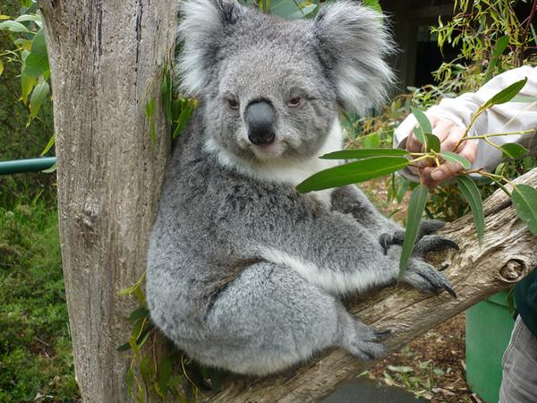 Koalas have difference of Breed as well.